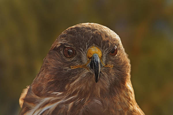 Photograph - Red-tailed Hawk  by Brian Cross