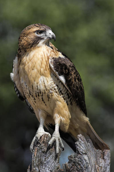 Avian Photograph - Red Tailed Hawk by Dale Kincaid