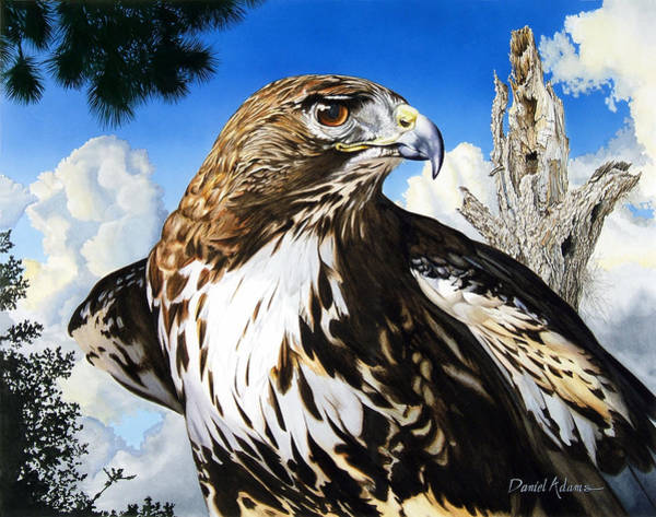 Painting - Da141 Red Tailed Hawk By Daniel Adams by Daniel Adams