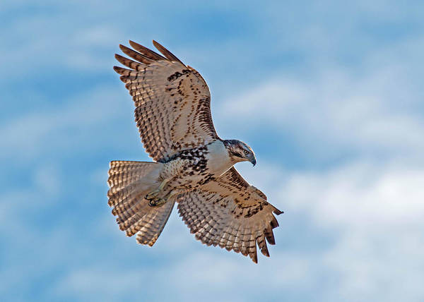 Wall Art - Photograph - Red-tailed Hawk Hover by Dawn Key