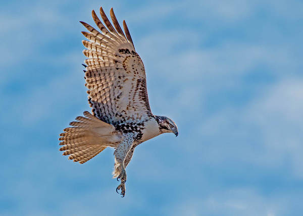 Wall Art - Photograph - Red-tailed Hawk Hovering by Dawn Key