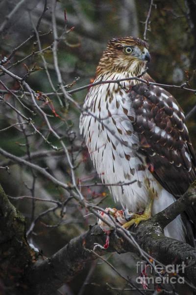 Digital Art - Red-tailed Hawk II by Kathryn Strick