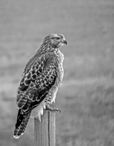 Wall Art - Photograph - Red-tailed Hawk In Black And White by Dawn Key