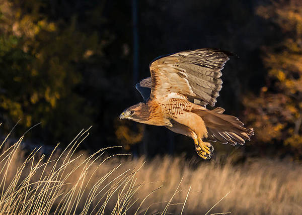 Photograph - Red-tailed Hawk In Flight by Dawn Key