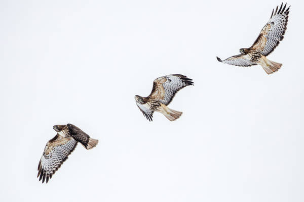 Wall Art - Photograph - Red Tailed Hawk In Flight Sequence by Chuck Haney