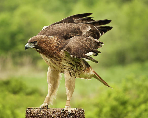 Taking Off Photograph - Red Tailed Hawk by Jody Trappe Photography