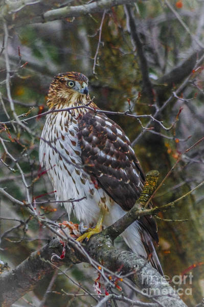 Digital Art - Red-tailed Hawk by Kathryn Strick