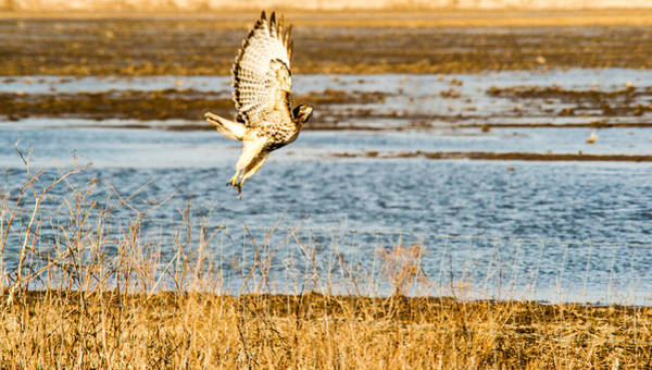 Falconiformes Photograph - Red Tailed Hawk Launching Into Flight by Douglas Barnett