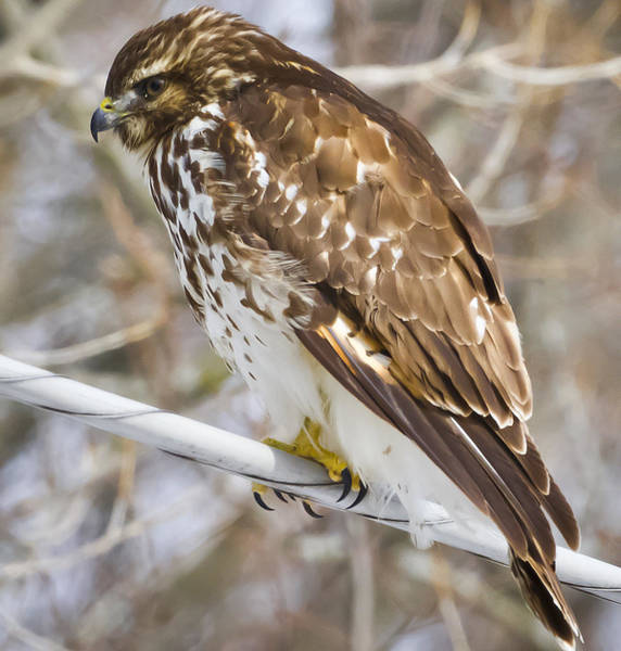 Photograph - Red-tailed Hawk  by Ricky L Jones