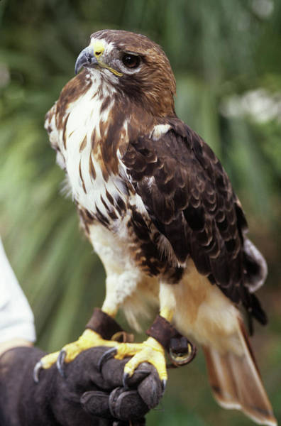 Handling Photograph - Red-tailed Hawk by Sally Mccrae Kuyper/science Photo Library
