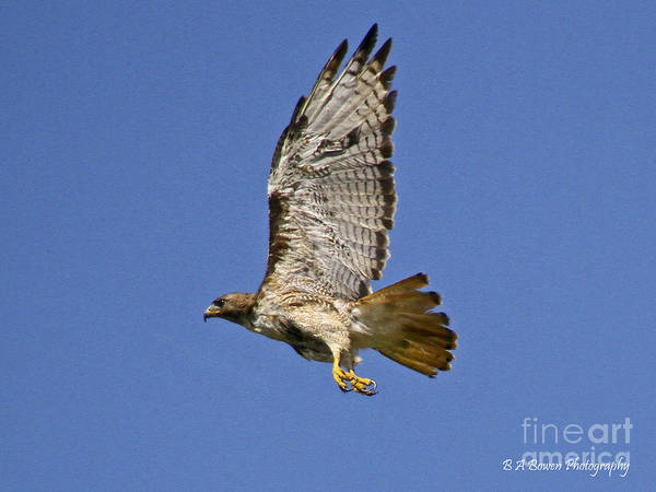 Photograph - Red-tailed Hawk Takeoff by Barbara Bowen