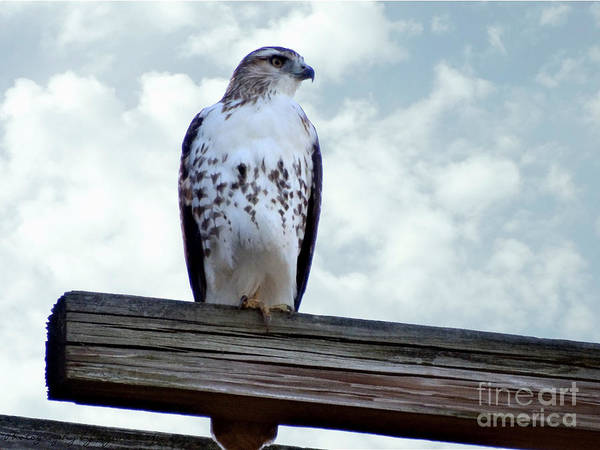 Red Tailed Hawk Waiting Art Print