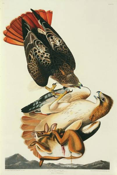 Aquatint Photograph - Red-tailed Hawks And Prey by Natural History Museum, London/science Photo Library