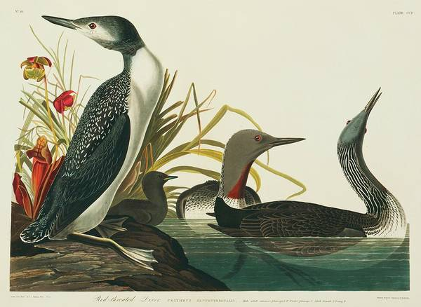 Loon Photograph - Red-throated Diver by Natural History Museum, London/science Photo Library