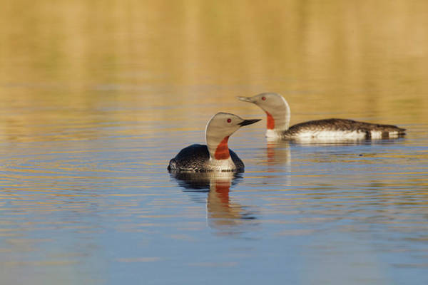 Loon Photograph - Red-throated Loon Pair by Ken Archer