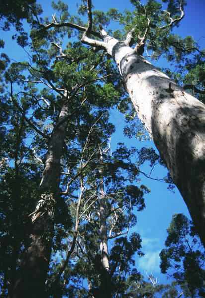 Eucalyptus Photograph - Red Tingle Trees by Sheila Terry/science Photo Library