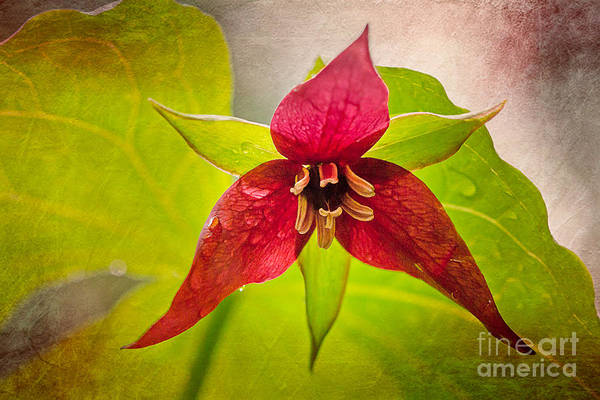 Photograph - Red Trillium Moment by Susan Cole Kelly