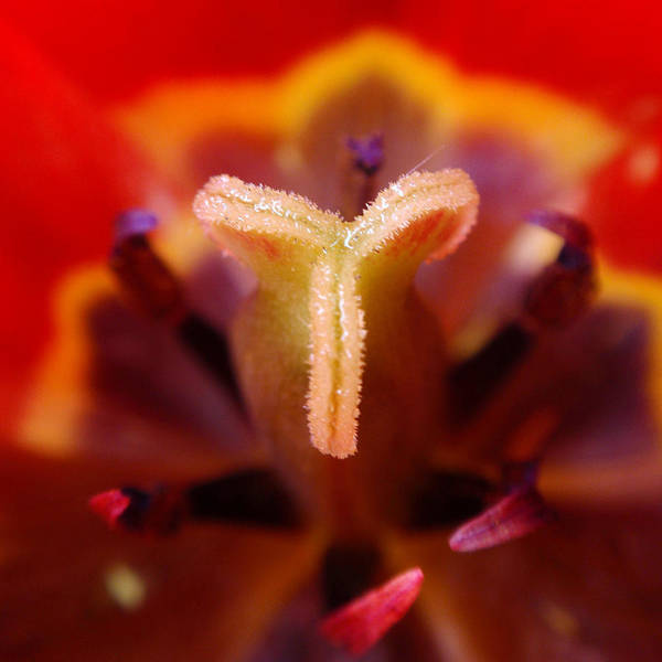 Photograph - Red Tulip Abstract by Rona Black