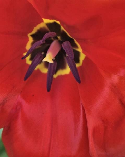 Red Tulip Detail Art Print
