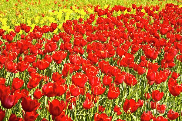 Photograph - Red Tulip Field On Island Mainau by Heiko Koehrer-Wagner
