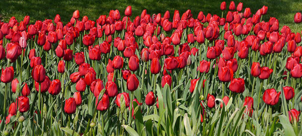 Photograph - Red Tulip Field by Richard Reeve