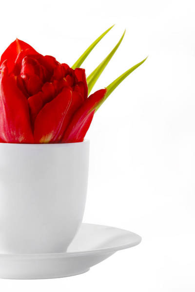 Photograph - Red Tulip In Cup by Raimond Klavins