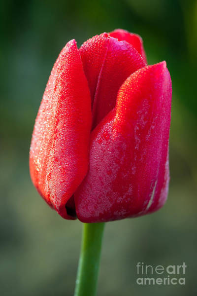 Mount Vernon Photograph - Red Tulip by Inge Johnsson