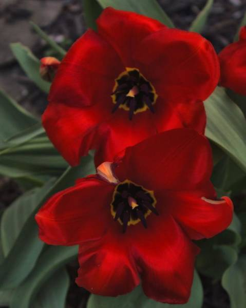 Photograph - Red Tulip Pair by John Feiser