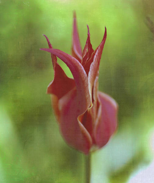 Photograph - Red Tulip by Rick Hartigan
