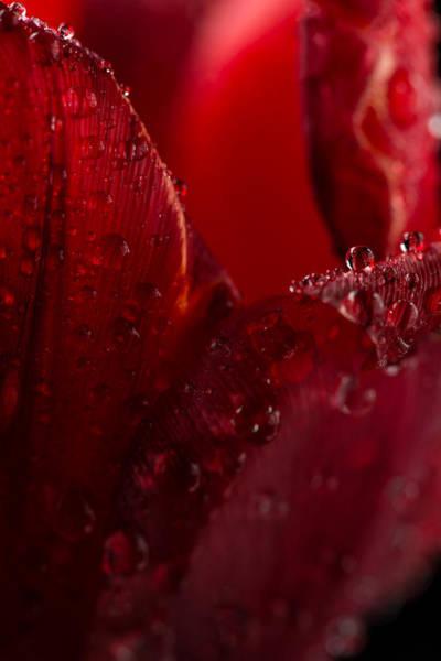 Wall Art - Photograph - Red Tulip by Steve Gadomski