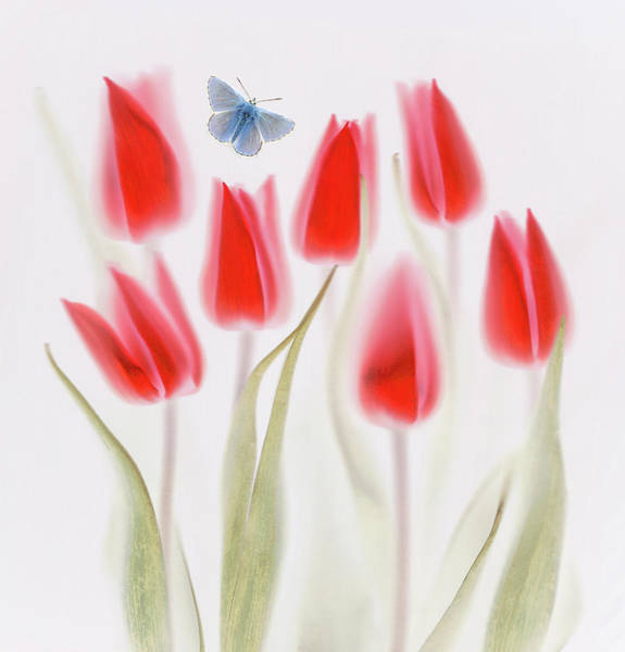 Tulip Flower Photograph - Red Tulips by Brian Haslam