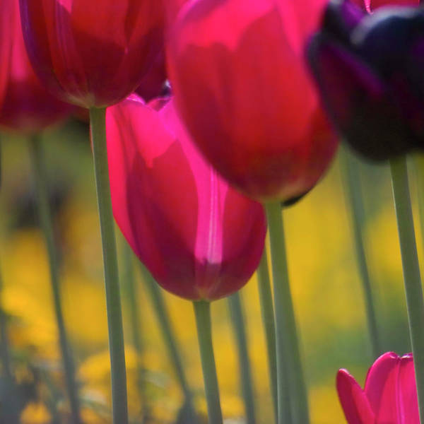 Photograph - Red Tulips by Heiko Koehrer-Wagner
