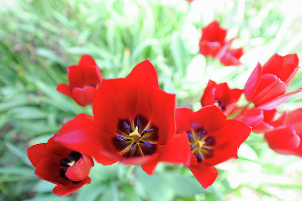 Season Photograph - Red Tulips In A Flowerbed by Josie Elias