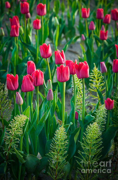 Mount Vernon Photograph - Red Tulips In Skagit Valley by Inge Johnsson