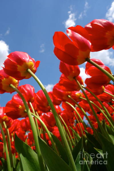 Photograph - Red Tulips by Jacqueline Athmann