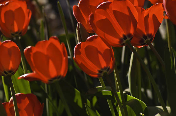 Photograph - Red Tulips by Sherri Meyer