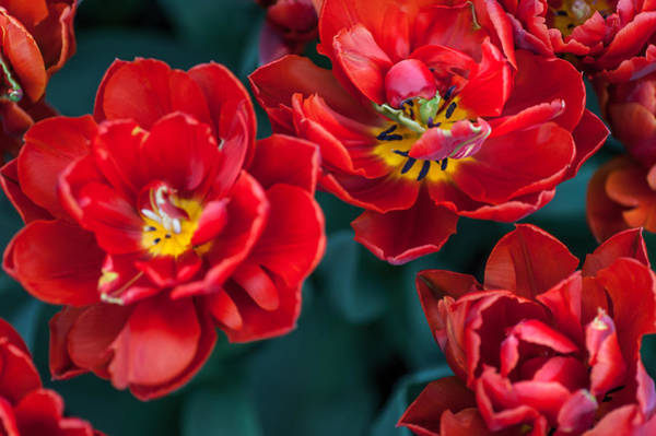 Passionate Photograph - Red Tulips. The Tulips Of Holland by Jenny Rainbow