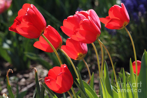 Photograph - Red Tulips by Trina  Ansel