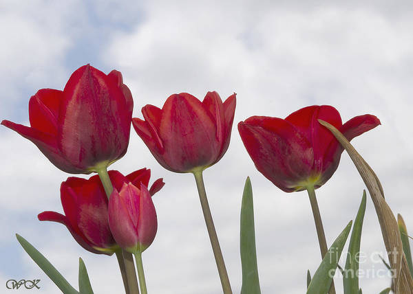 Photograph - Red Tulips by Wanda Krack
