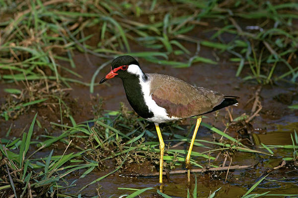 Red-wattled Lapwing Art Print