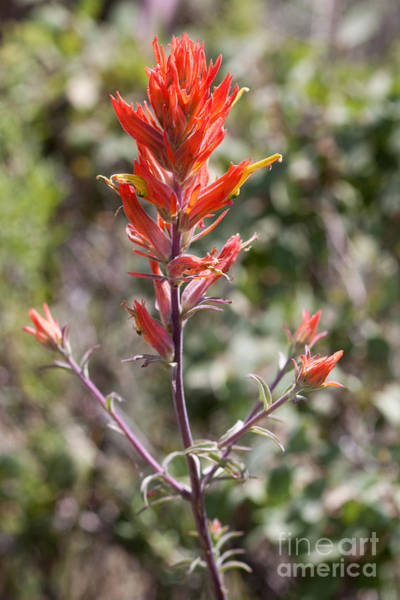 Photograph - Red Wildflower by Cindy Singleton