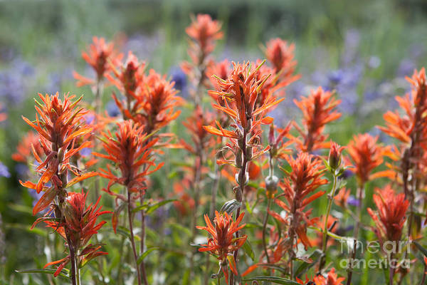 Photograph - Red Wildflowers by Cindy Singleton