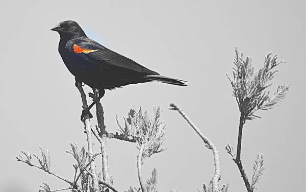 Photograph - Red Wing Blackbird by AJ  Schibig