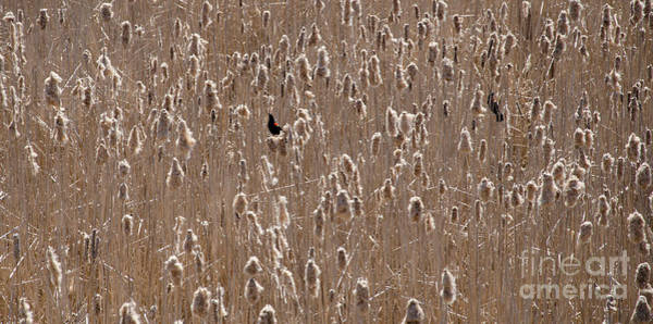 Photograph - Red Wing Blackbirds by Laurel Best
