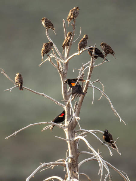 Photograph - Red Wing Gathering by Kevin  Dietrich