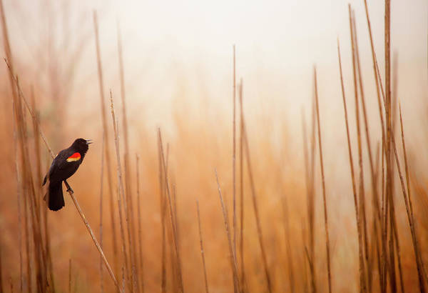 Delaware Photograph - Red-winged Black Bird In Song by Michael Lawrence Photography