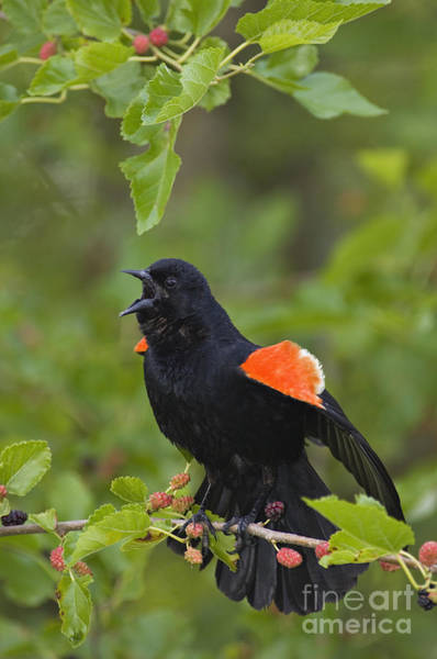 United States Territory Photograph - Red-winged Blackbird - D008481 by Daniel Dempster