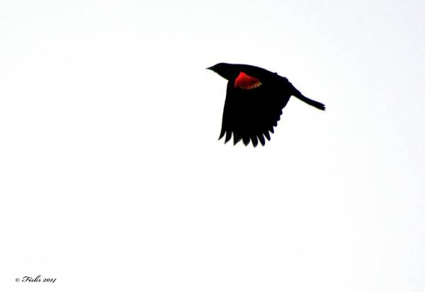 Photograph - Red Winged Blackbird by Fiskr Larsen