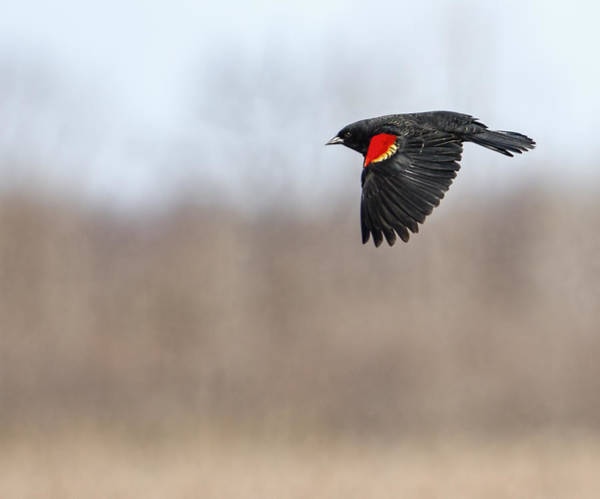 Red-winged Blackbird Wall Art - Photograph - Red-winged Blackbird In Flight by Thomas Young