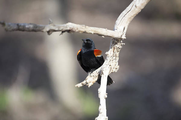 Photograph - Red-winged Blackbird by Jack R Perry